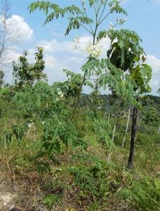 インドネシアチーク植林地に混植種まきから6か月でここまで成長