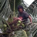 遊歩道の椰子の木に登って実を取る男性。まるでターザンである