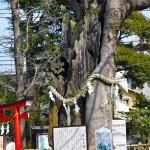 欅(けやき)の御神木。かつて2度に渡り消失の危機を向かえた