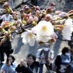 東京で桜が開花、史上3番目の早さ