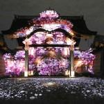 京都・二条城、あすから桜まつり