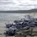 クジラ150頭が豪ハメリン湾で打ち上げれる