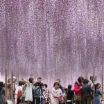 樹齢は約150年、降り注ぐフジのシャワー