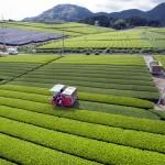 日本有数の茶どころ、新茶の摘み取りが最盛期