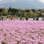 富士山にピンクのじゅうたん、80万株の芝桜