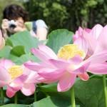 千葉公園の「大賀ハス」、花は朝開く