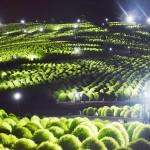 幻想の世界、3万2000本のコキアをライトアップ