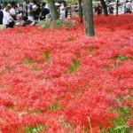 真っ赤に染まる一面の彼岸花