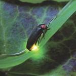 基礎生物研と中部大が発光能力獲得の謎を解明
