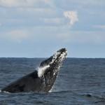 ザトウクジラの繁殖海域、世界最北は八丈島?