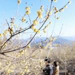 ロウバイが見頃、一足早い春の訪れを告げる