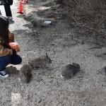 うさぎの島として知られる大久野島には、多くのアナウサギが生息している