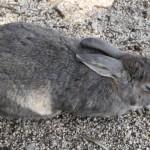 この島に生息するアナウサギは全て野生の個体である