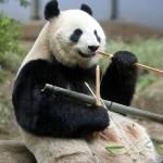 茨城県がジャイアントパンダの誘致構想を発表