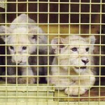 ホワイトライオン赤ちゃん2頭が到着
