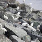 マニラ湾の野鳥たち