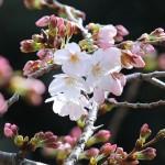 各地で気温上昇、東京・横浜・福岡で桜開花