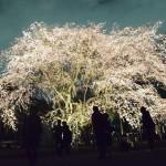 「六義園」の大きなしだれ桜、ライトアップ