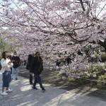 今年は平成最後の花見、早咲きのサクラ満開