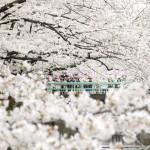 東京・目黒川沿いの「桜のトンネル」