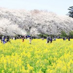 1000本のソメイヨシノと菜の花畑、春色の共演