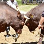 両陛下にささぐ、山古志の闘牛「牛の角突き」