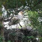 今季初、「純野生」トキのひな2羽が巣立ち