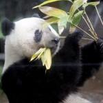 上野動物園の「シャンシャン」、もうすぐ2歳