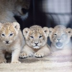 熊本市動植物園、三つ子のライオンの赤ちゃん