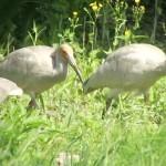 今季の繁殖活動終了、トキのひな76羽が巣立つ