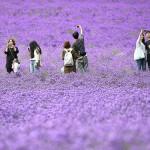 北海道の夏を彩る6万株のラベンダーが見頃