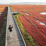 北海道網走の能取湖に広がる深紅のじゅうたん