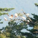トキ放鳥11年、保護対象から「観光資源」へ