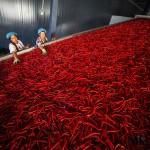 鮮やかな赤、収穫された大量のトウガラシ