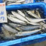 海が荒れる冬でもマサバとマイワシが豊漁