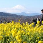 冠雪した富士山と6万株の菜の花が見事に競演