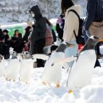 ジェンツーペンギン10羽が一列に、雪の行軍