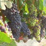 ワイン用ブドウを高温に強い品種に切り替えを