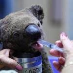 豪東部州の森林火災で死んだコアラ1万匹