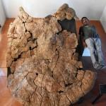 長さ2・4m超、史上最大級のカメ甲羅化石を発見