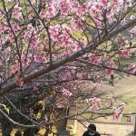 ヒカンザクラが満開、沖縄本島で桜前線が南下