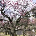 梅やタンポポが今年は平年よりも早めの開花