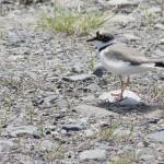 渡り鳥「コチドリ」、内陸部の水田が補給基地