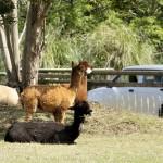 車窓から羊や馬などを眺めるドライブスルー見学
