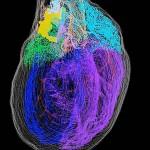 心臓神経網の精密な3次元モデルをPC上で構築