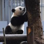 撮影は禁止、パンダと再会「じっくり見たい」