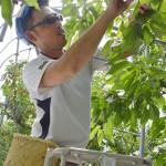 サクランボの収穫が最盛期、人手不足の解消を