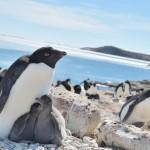アデリーペンギン、海氷減少で子育てしやすく