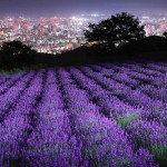 7千株のラベンダーと札幌の夜景が見事に競演