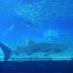 「沖縄美ら海水族館」が再開、観光客戻る